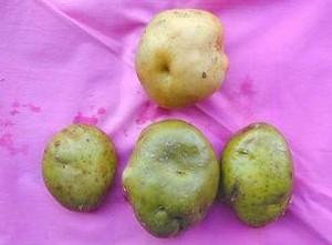 potato-ryokuka